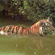 A swimming Bengal Tiger (Panthera tigris) is crossing a tidal creek in Bangladesh Sundarbans