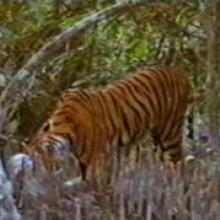 A Bengal Tiger (Panthera tigris) is feeding on its prey in the Mangrove Swamp of Bangladesh Sundarbans