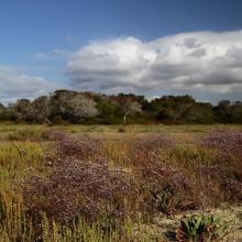 Glasswort and Limonium