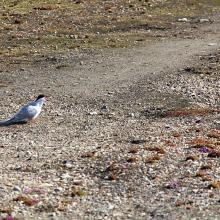 Terretorial Arctic tern