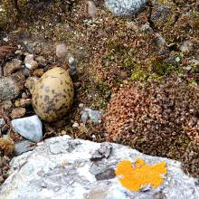 "Arctic tern ""nest"""