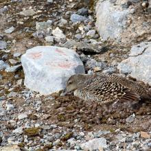 Nesting female eider