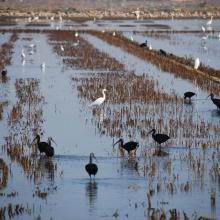 L'Albufera. Avifauna en el arrozal inundado.