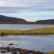 Swans in Risøysundet