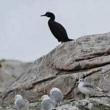 Black-legged kittiwake and European shag