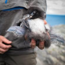 Atlantic puffin chick