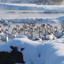 Flocks of swans.