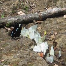 Papillons de Bemanevkia