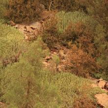 Singe magot dans son habitat, sur un versant de rive droite du bas oued Melloul