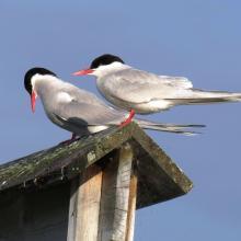 Close-up of an Arctic tern.