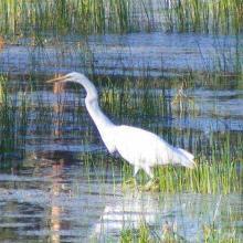 Garza de dedos dorados (Ardea alba), alimentándose en laguna Hanson