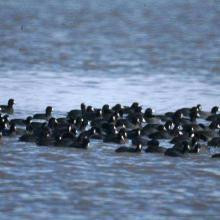 Gallaretas (Fulica americana).Estas fueron observadas alimentándose y son parte de grupo de aves migratorias