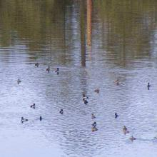 Grupo de Anátidos descanso en la Laguna Hanson