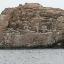 Thick-billed Murre sub-colony.