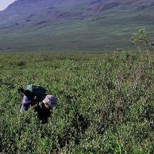 Tall Salix-scrub in Sullorsuaq/Kvandalen