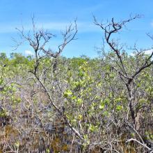 Bosque Enano de Avicennia germinans en Manglar de Santa Elena.